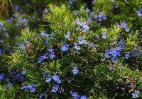 Plantas aromáticas de exterior