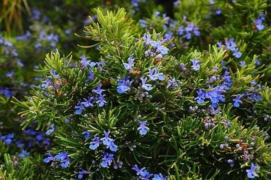 Sembrar plantas aromáticas en primavera